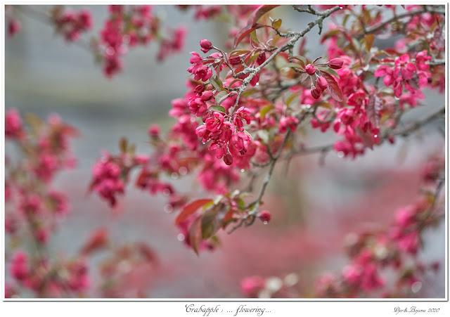 Crabapple: ... flowering...