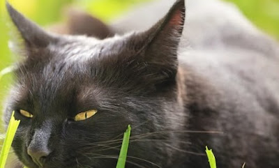 Black Burmese Cat vs Bombay Cat Personality, Size, Lifespan, Price