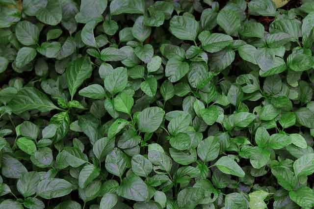 bahaya makan sayuran bayam mentah