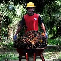 Loker Sawit - PT. Best Agro International Posisi Mandor 1 Afdeling (Deadline 25 Oktober 2020)