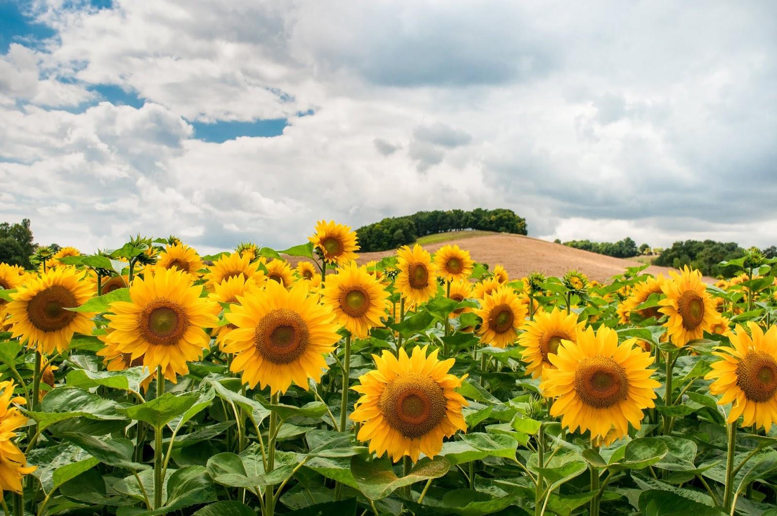 Sunflowers Sensitivities