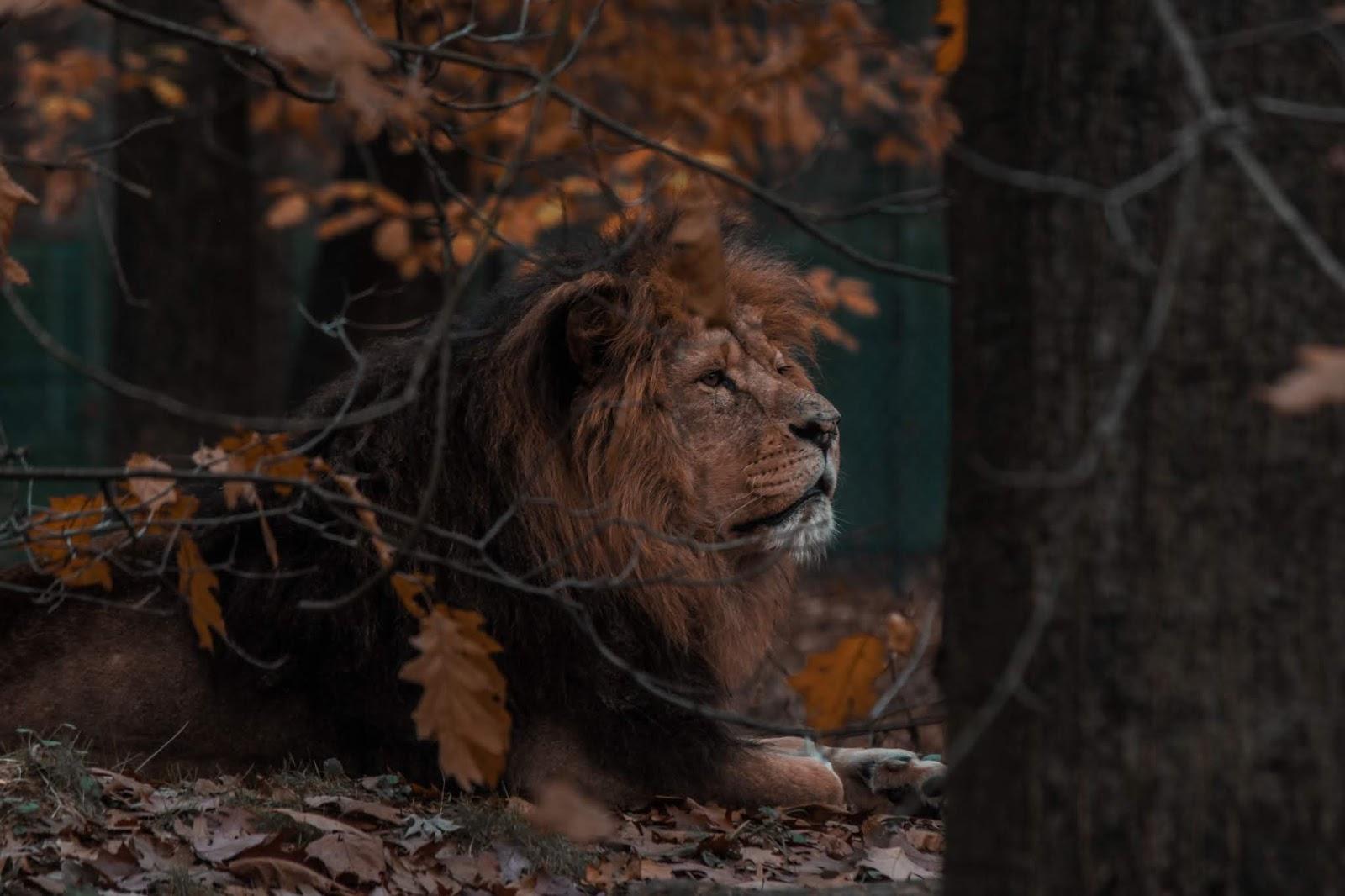 selective-focus-photography-of lion,lion images