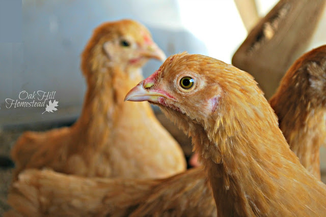 Young buff orpington pullets