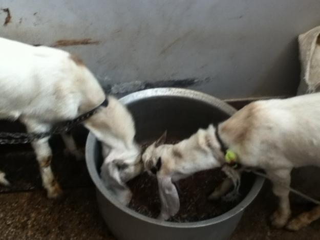 Gulabi Goat Pair For Sale In Karachi - Pets For Sale In Pakistan