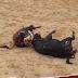 Dos Toros Mueren De La Forma Más Brutal Tras Embestir El Uno Contra El Otro
