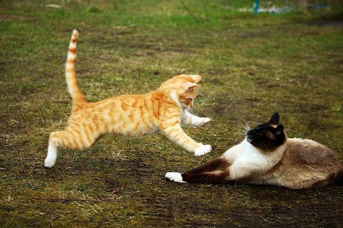 kucing yang sedang menerkam dan menyerang