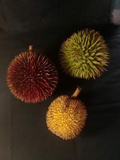 Durian kalimantan marawin, mantuala, pampakin