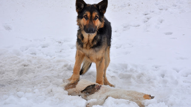 Пес несколько дней охранял свою погибшую подругу. Он отгонял ворон и грел ее тело, отказываясь верить, что собака умерла