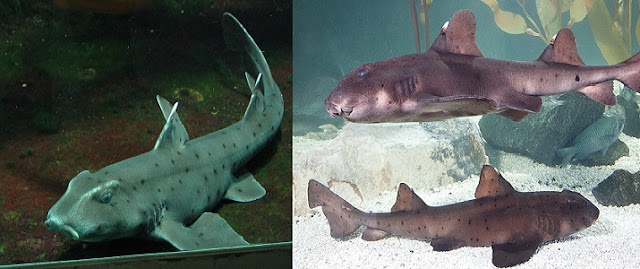 Boynuzlu Köpekbalığı Hakkında Bilgi