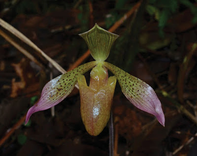 anggrek Paphiopedilum lunatum Metusala section Barbata