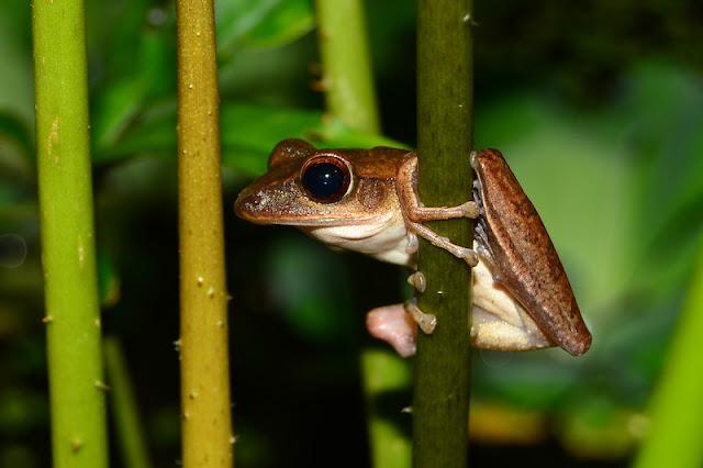 Polypedates leucomystax