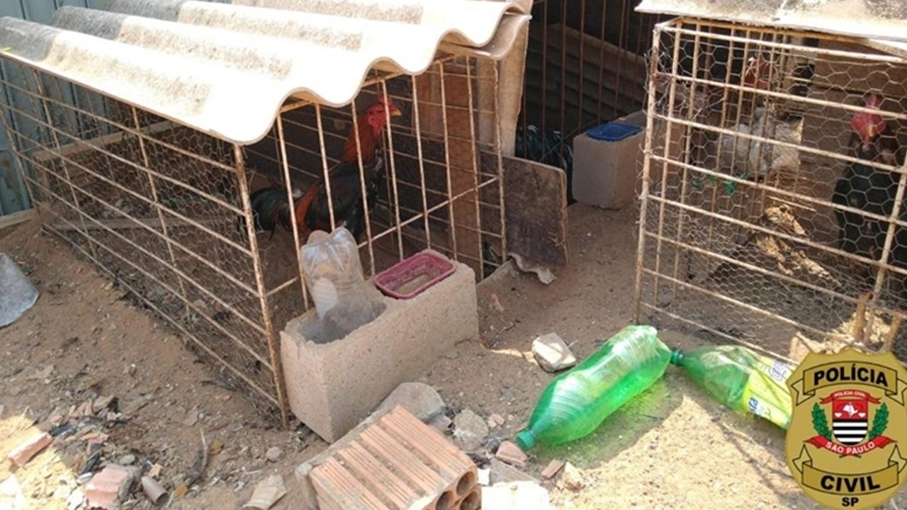 Polícia Civil de Avaré fecha rinha de galo e resgata aves que sofriam maus-tratos