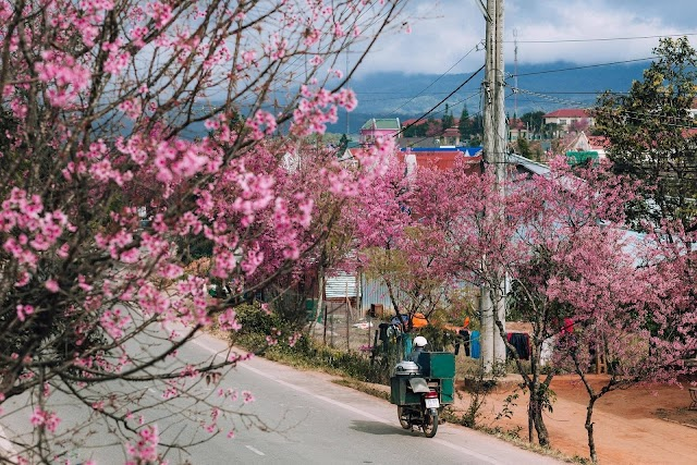 Make an itinerary to check-in Da Lat in the season of wild himalayan cherry