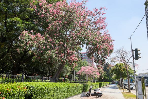 台中南區健康公園白花美人樹,白色和桃紅色美人花爭奇鬥艷