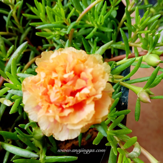 bunga ros jepun oren