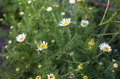 a clump of tall while chamomile flowers over feathery foliage