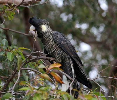Long billed Black cockatoo