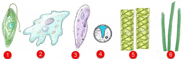 Dari beberapa makhluk hidup di atas, yang termasuk kelompok hewan hewan protozoa adalah ....       A. kelompok 1 dan 2    B. kelompok 2 dan 4    C. kelompok 3 dan 4    D. kelompok 3 dan 5    E. kelompok 3 dan 6  Jawab: A  Pembahasan  Organisme 1 adalah Euglena (Flagellata - Protozoa)  Organisme 2 adalah Amoeba (Rhizopoda - Protozoa)  Organisme 3 adalah Paramaecium (Ciliata - Protozoa)  Organisme 5 adalah Spirogyra (Alga Hijau)  Organisme 6 adalah Oscillatoria (ganggang biru)