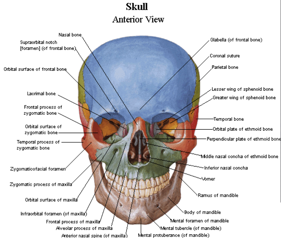 sphenoid bone greater and lesser wings – citybeauty, Human body
