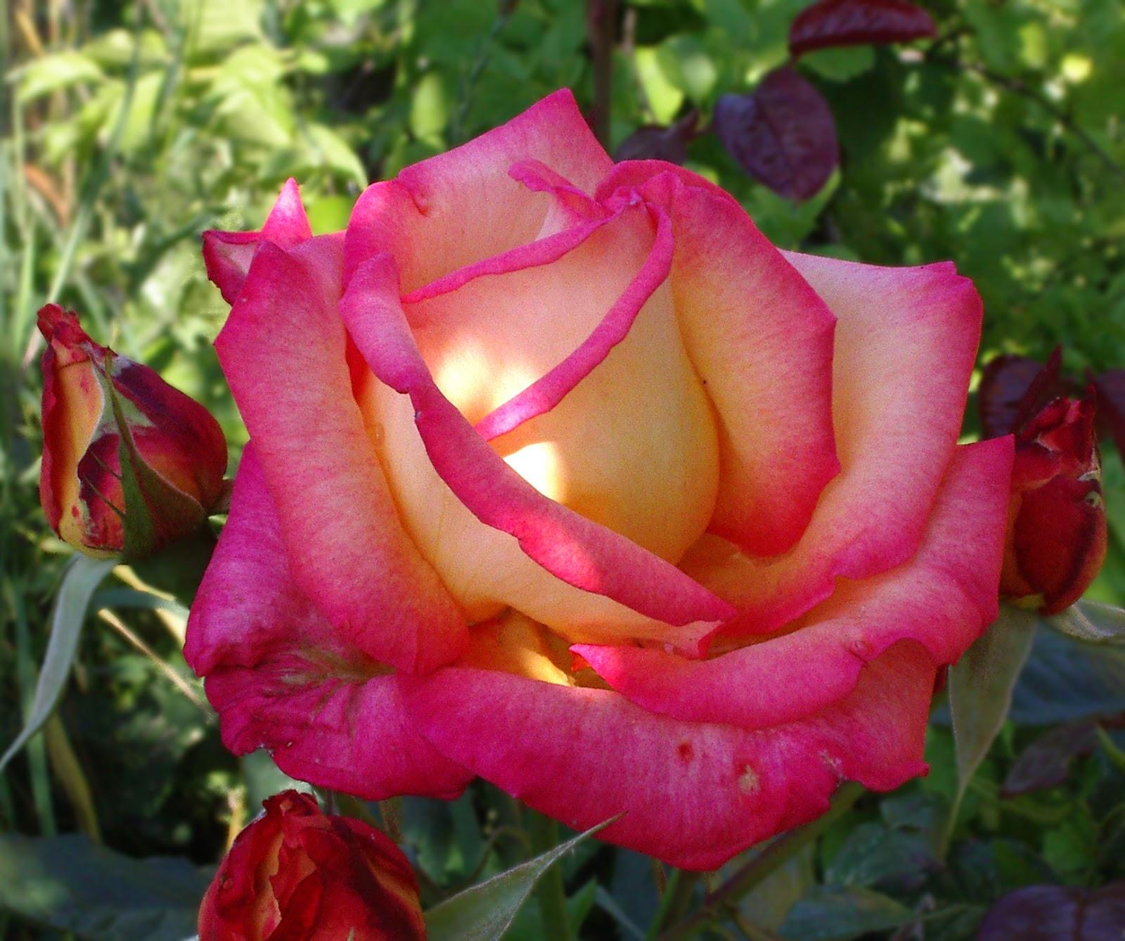 Romantic Flowers Rose Flower