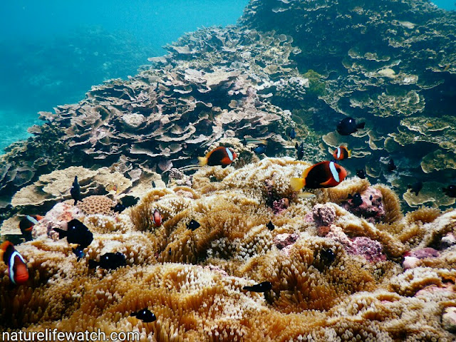 anemonefish, three spots dascyllus in marine environment