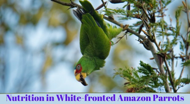 how to feed White-fronted Amazon Parrots