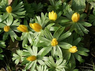 Ellébore d'hiver - Eranthis hyemalis - Hellébore d'hiver - Éranthe d'hiver