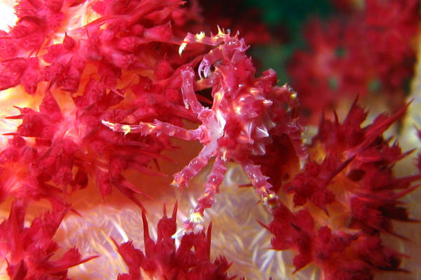 Crab on Carnation Coral