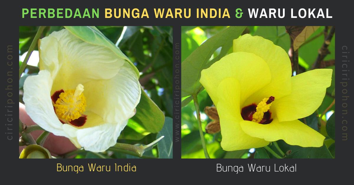 Perbedaan Bunga Waru India dan Waru Lokal