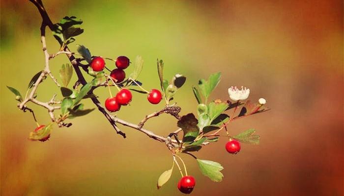 Planta Crataegus