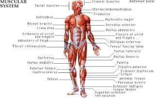 Klasifikasi Jenis Serat Otot Kerangka Manusia