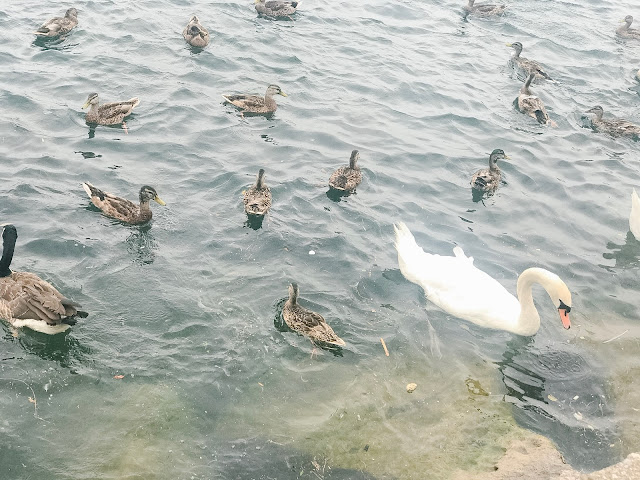 Feed the Ducks at Port Credit