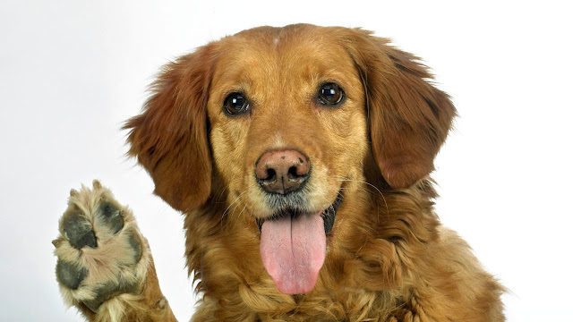 How to stop your Golden Retriever from licking its paws?