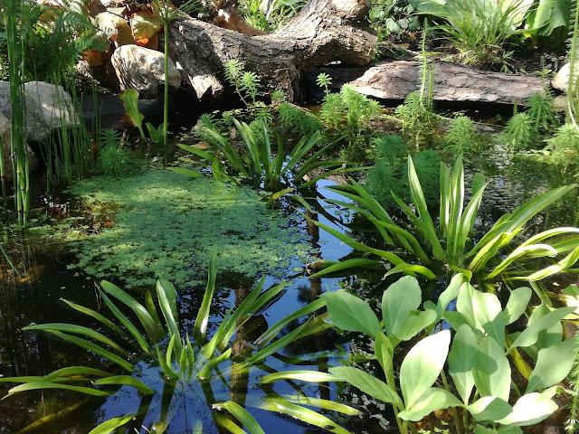 leśna sadzawka, rośliny wodne
