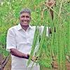 સરગવાની લાભદાયક ખેતી વિશે સંપૂર્ણ માહિતી Khedut Help