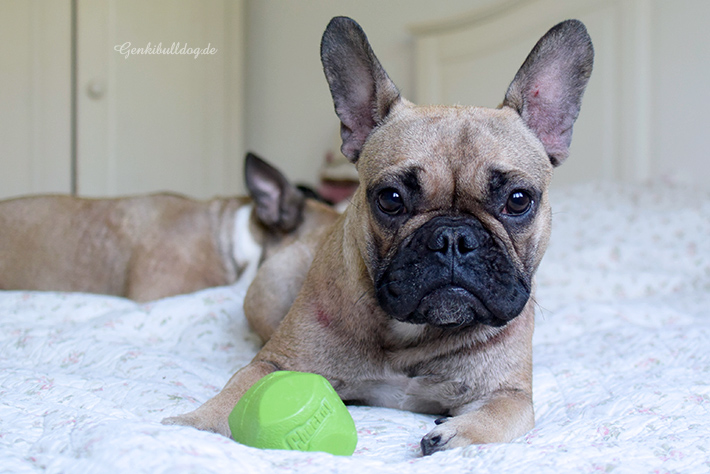 Hundeblog Hundespielzeug im Test BecoBall vs. Chuckit Erratic Ball