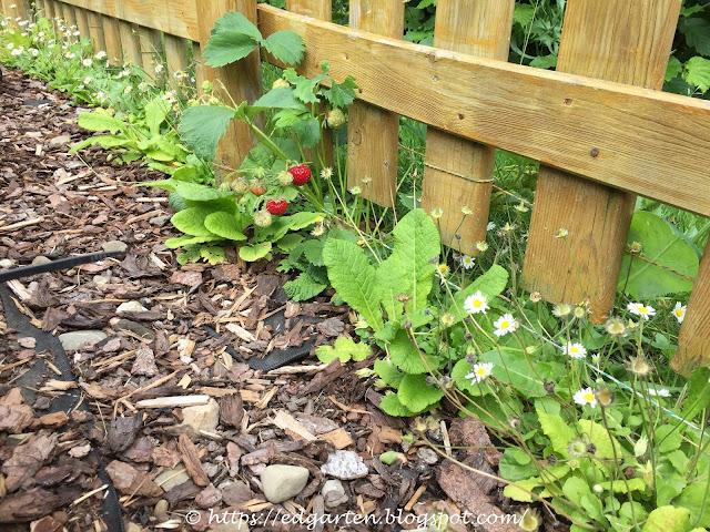 Umrandung Staudengarten: Erdbeeren