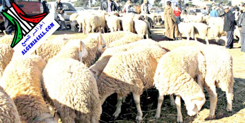 صور الماشية في الجزائر