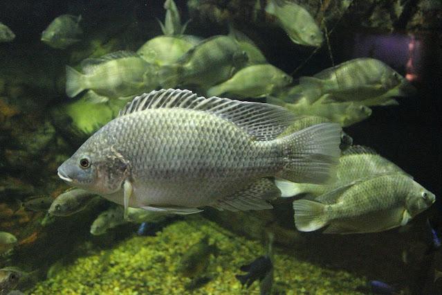 Ciri-ciri Ikan Tilapia