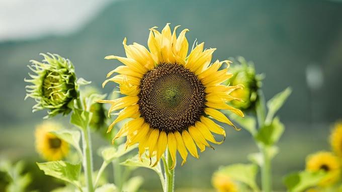Papel de Parede para PC Flores Girassol