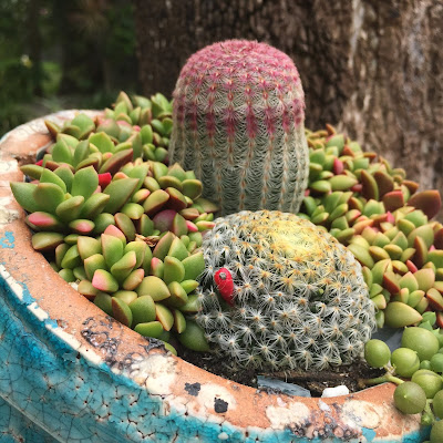 Mammillaria schiedeana Cactus Flower Gardening Plants Succulents Miami Ft. Lauderdale Florida
