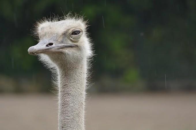 Soñar con avestruces