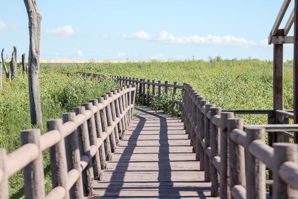 彰化福寶濕地漂流木和紫斑向日葵花海好好拍,踩水賞夕陽生態之旅