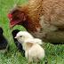 Organ Reproduksi Ayam Betina