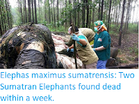 https://sciencythoughts.blogspot.com/2019/11/elephas-maximus-sumatrensis-two.html
