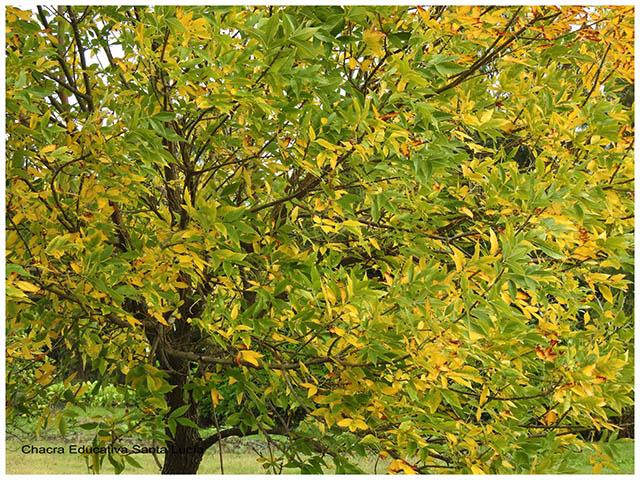 Árbol de follaje caduco-Chacra Educativa Santa Lucía