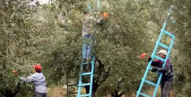 Βάνα Παπαευαγγέλου: «Πιθανό η έξαρση των κρουσμάτων να οφείλεται στο μάζεμα της ελιάς»