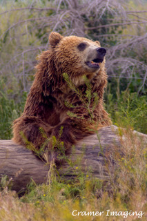 Cramer Imaging's professional quality nature animal photograph of a grizzly bear leaning on a tree stump in Pocatello, Bannock, Idaho