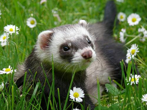 Ferret | Animals Backgrounds