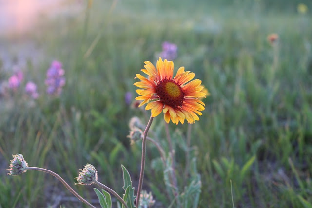 Manitoba wild flowers